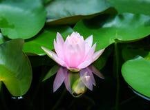 莲花-反射开花的水池-桃红色荷花 库存图片