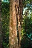 树和藤 库存照片