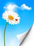 自然与雏菊花的夏天背景与瓢虫 免版税库存图片