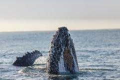 驼背鲸的鼻子表面化 免版税库存照片
