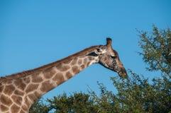 吃被撕毁的树叶子的长颈鹿 免版税库存照片