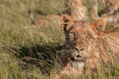 掩藏在草的雌狮 图库摄影