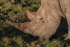 与吃草的长的垫铁的犀牛 免版税库存照片