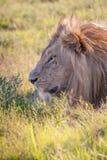 το λιοντάρι χλόης πάλης που βρίσκεται ήταν πληγωμένος εβδομάδας Στοκ Φωτογραφία