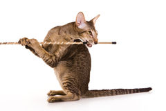 猫东方人 免版税库存照片
