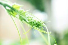 自然瓜蔓卷毛  库存图片