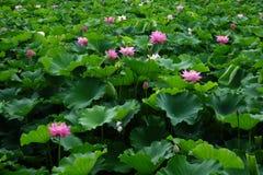 与绿色叶子的莲花 免版税库存照片