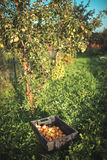 μήλα στον κήπο το φθινόπωρο Στοκ Εικόνα