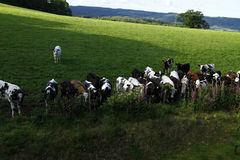 牛肉小牛 免版税库存图片