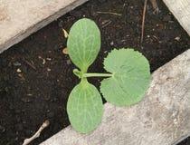 年轻夏南瓜植物在庭院里 免版税库存图片