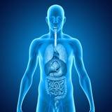 与器官的身体 免版税图库摄影