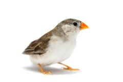 在白色的斑胸草雀 免版税库存照片