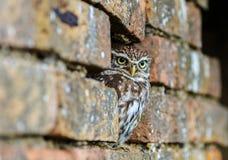 掩藏在老墙壁的小猫头鹰 免版税图库摄影