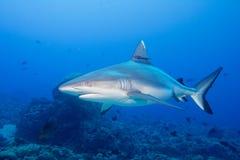 准备好灰色噬人鲨的下颌攻击水中接近的画象 库存照片