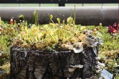 肉食植物-维纳斯捕蝇器 库存图片