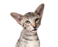 Προσεκτική σοβαρή τιγρέ ασιατική κινηματογράφηση σε πρώτο πλάνο γατακιών που εξετάζει τη κάμερα Στοκ εικόνα με δικαίωμα ελεύθερης χρήσης
