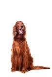 白色背景的爱尔兰赤毛的塞特种猎狗 免版税库存照片