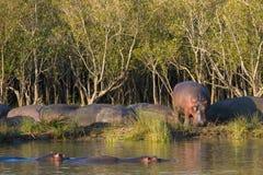 在河河岸的河马日落的南非 免版税库存照片