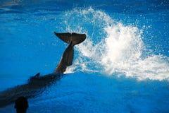 海豚飞溅 免版税库存图片