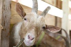 吃在农场的山羊干草 免版税图库摄影