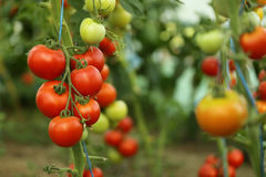 西红柿收获 免版税库存照片