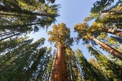Дерево секвойи генерала Шермана Стоковая Фотография