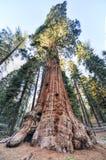 综合财政补贴美国加州红杉树,国王峡谷国家公园 免版税库存照片