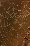 草甸蜘蛛日出万维网 免版税库存照片