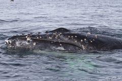 在水域中漂浮的驼背鲸的头 库存图片