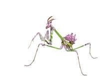 螳螂在狩猎姿势的昆虫掠食性动物 免版税库存照片