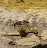 食肉动物的昆虫和牺牲者 库存图片