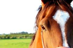 красивейшая лошадь Стоковые Фото