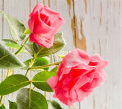 二朵桃红色玫瑰 免版税库存照片