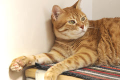 好奇红色猫 免版税图库摄影