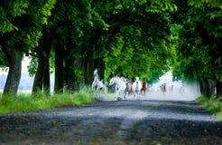 Αραβικά άλογα καλπασμού Στοκ εικόνα με δικαίωμα ελεύθερης χρήσης