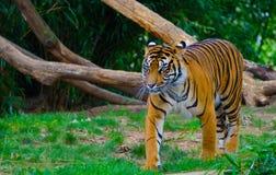 свирепый тигр Стоковая Фотография