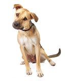 拳击手坐混合的小狗掀动头 免版税库存照片