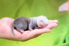 白鼬婴孩在人的手上 库存图片
