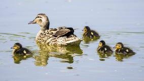 鸭子家庭在晴天 免版税库存图片