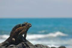 Морская игуана на утесах Стоковое Изображение