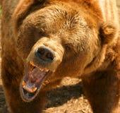 熊北美灰熊 库存图片