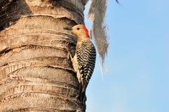 红色鼓起的啄木鸟女性 库存图片