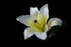 Цветок белой лилии на черном включенном пути клиппирования предпосылки Стоковое фото RF