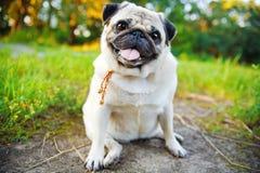一点微笑的哈巴狗 免版税库存照片