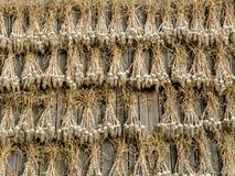 Ξήρανση συγκομιδών σκόρδου Στοκ Φωτογραφία