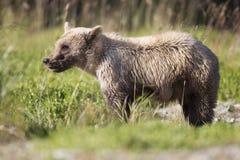 在草的逗人喜爱的棕熊崽 免版税库存照片