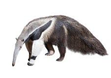 画巨型现有量水彩的食蚁兽 库存图片