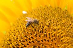 蜂本质夏天向日葵 免版税库存照片