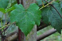 在雨葡萄叶子以后 图库摄影