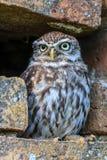 在一个孔的小猫头鹰在墙壁 免版税图库摄影